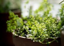Potted Oregano House Plant