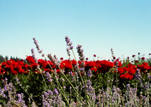 Lavender And Red Dahlia Flowers In An Open Field