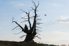 An Ancient Oak Tree In The English Countryside. A Site For Pagan Offerings. Malvern Hills, UK