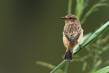 Female Pied Bushchat Perching On Grass Stem  Looking Into A Distance