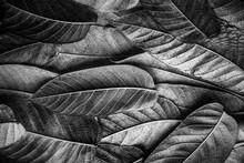 Black And White Texture From Green Leaves On A Black Background. Autumn Black And White Variegated Texture. Closeup Of Autumn Black And White Tree Leaves