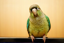 Green Cheek Conure On Wood Bac...