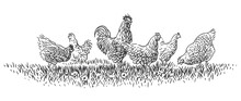 Rooster And Hens On Grass Illu...