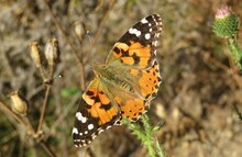 Painted Lady Butterfly In The Garden, Closeup