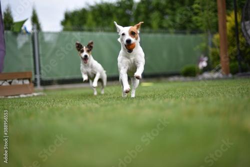 dogs run © Bartosz