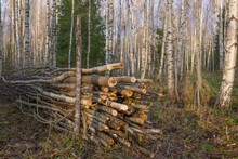A Pile Of Brushwood Is Piled I...