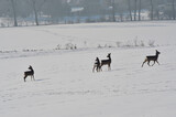 Fototapeta Zwierzęta - Stado saren na ośnieżonym polu. Deer in the field.
