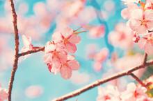 淡いピンクの桜 フィ...