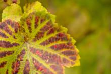 Verfärbung - Weintrauben