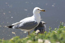 Adult Ring-billed Gull, Larus Delawarensis, Sheltering Young From Sun