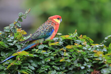 Rosella Parakeet (Platycercus Sp), A Type Of Bird With A Beautiful Feather Color And Beautiful.