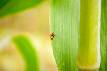 Ladybugs Are Mating On Leaves.