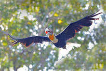 A Hornbill (Bucerotidae Sp) Is...