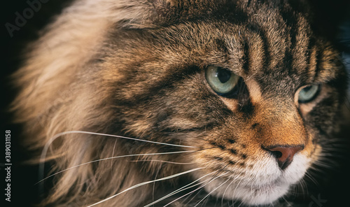 Portrait of Maine Coon. Largest domesticated cat breed. Fototapet