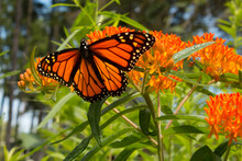 Monarch Butterfly Sips Nectar From Butterfly Weed Flower Buds In Perennial Garden