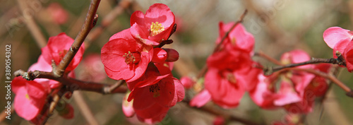 Fleurs de Chaenomeles Fototapete