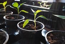 Small Grown Green Pepper Seedl...