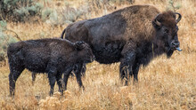 Bison Buffalo In Yellowstone National Park