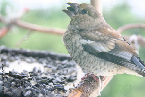 Photo juvenile hawfinch on a branch