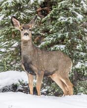 Mule Deer Doe In Yellowstone National Park