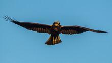 Beautiful Bird Of Prey Flying ...
