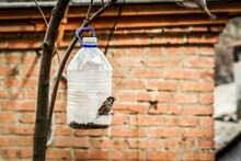 Sparrows Eat From A Homemade Feeder Made From A Plastic Bottle.