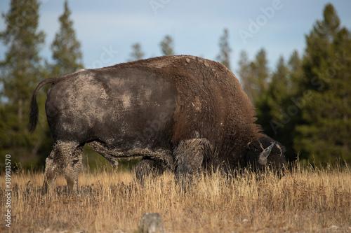 Bison close Yellowstone grazing buffalo Canvas