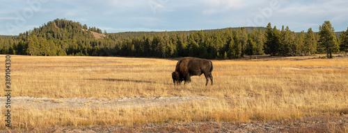 Yellowstone Bison bull buffalo grazing in meadow Panorama 1198 Fotobehang