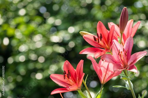 Fotografering キラキラをバックにスカシユリの花