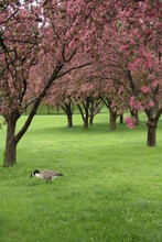 Canadian Goose And Blossom In ...