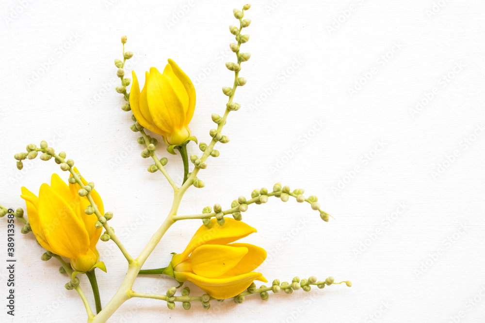 Fototapeta yellow flowers ylang ylang local flora of asia arrangement flat lay postcard style on background white wooden