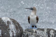 Blue-footed Booby (Sula Neboux...