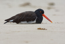 American Oystercatcher (Haematopus Palliatus) In Galapagos Islands, Ecuador