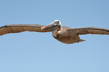Brown Pelican (pelecanus Occidentalis) In Galapagos Islands, Ecuador