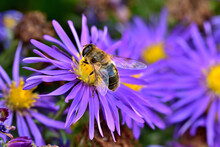 Close-up Of Bee Pollinating Sy...