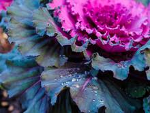 Large Drops Of Dew On The Leav...