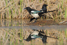 Eurasian Magpie Or Common Magpie. Bird. Pica Pica