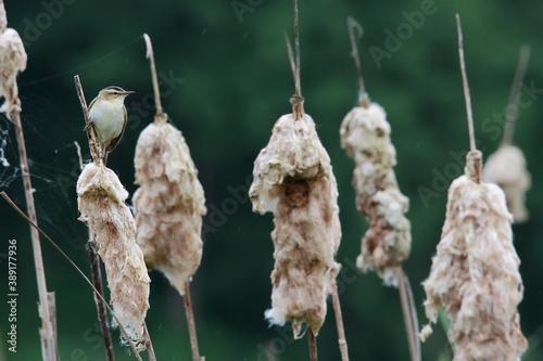 Fotografering Sedge warbler. Bird in spring. Acrocephalus schoenobaenus