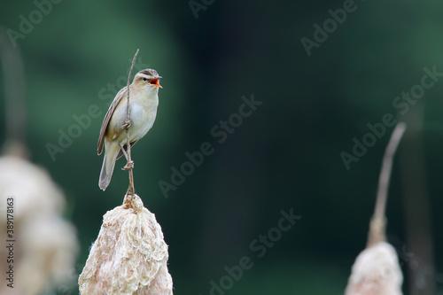 Sedge warbler. Bird in spring. Acrocephalus schoenobaenus Fotobehang