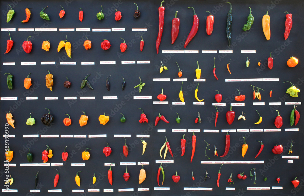 Fototapeta collection of hot chili peppers, different types of fruit like Green bird's eye, yellow madame Jeanette, and red cayenne