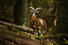 European Mouflon - Ovis Aries Musimon In The Forest