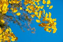 Ginkgo Biloba Autumn Foliage A...