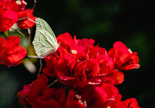Tender Yellow Butterfly Feeding In Deep Red Bougainvillea Flowers On Blurred Background. The White Angled-sulphur  (Anteos Clorinde). Nice Scene For Positive Co