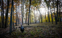 Wild Turkey Standing In The Woods At Dawn