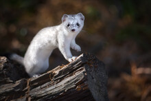 Siberian Ermine During The Col...