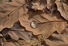 Autumn Leaf; Brown Autumn Oak Leaf, Quercus Sp., Floating In Water With Water Droplet, Close-up View