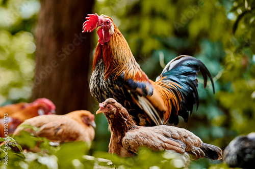 Canvas Print rooster and its hens on the fence
