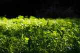 trawa krople woda tło zieleń