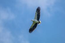 Javan Eagle Flying In The Sky