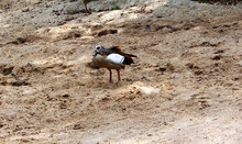 An Egyptian Goose On The Beach. The Egyptian Goose Is A Member Of The Anasouvable, Goose And Swan Family Anatidae, Alopochen Aegyptiaca